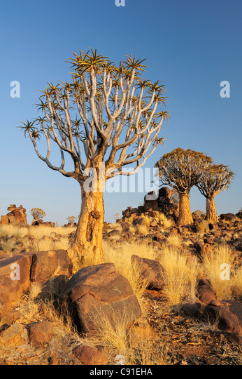 Quiver tree in quiver tree forest, Aloe dichotoma, Quiver tree forest, Keetmanshoop, Namibia - Stock-Bilder