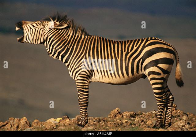 Zebra - Stock Image