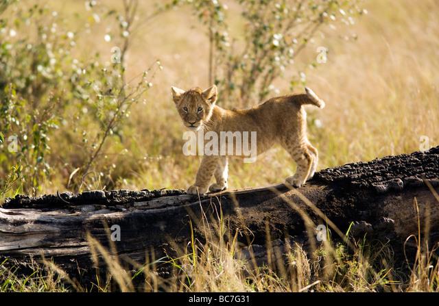 Lion cub - Masai Mara National Reserve, Kenya - Stock Image