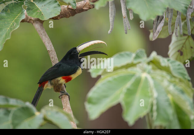 A Black-necked Aracari singing while perched on a Cecropia Tree in the Amazon - Stock Image