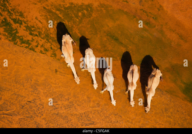 Aerial view of Camels(Camelus dromedarius) in the Chalbi Desert. Kenya - Stock Image