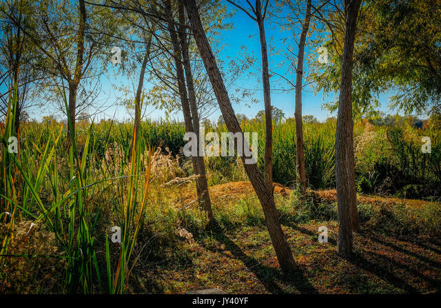 A stand of willow trees just starting to turn color for the fall or autumn season with tall reeds in the background - Stock Image