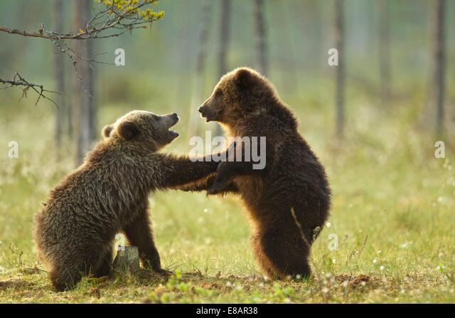 Two brown bear cubs play fighting (Ursus arctos) in Taiga Forest, Finland - Stock Image