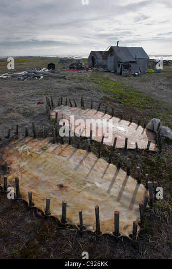 Bearded seal hides staked out to dry near family summer hunting camp, Shishmaref Island, Arctic Alaska, Summer - Stock-Bilder