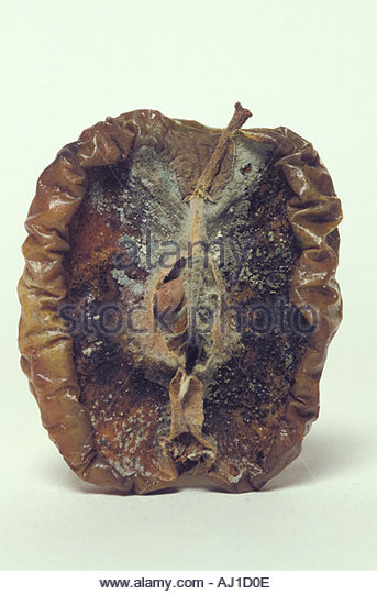 half apple in extreme rotten state - Stock Image