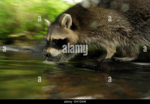 [captive] Raccoon (Procyon lotor) | Waschbär (Procyon lotor) - Stock Image