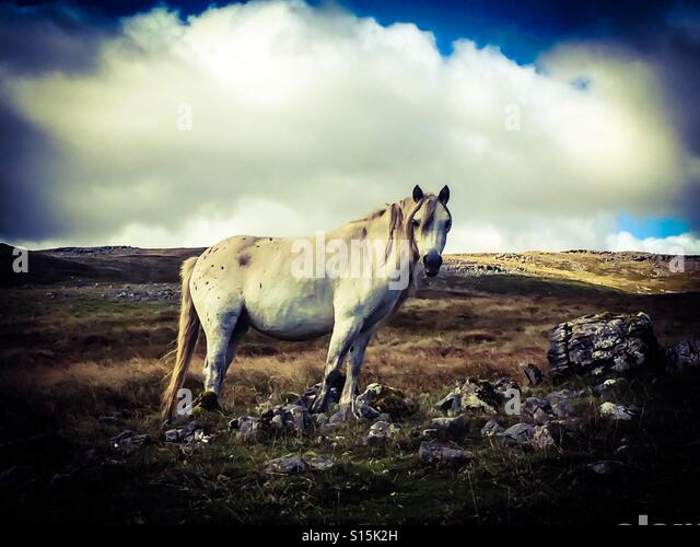 Wild pony wandering the mountains of Wales - Stock-Bilder