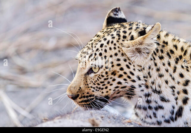 Female African leopard feeding on an African elephant calf, Chobe National Park, Botswana - Stock-Bilder