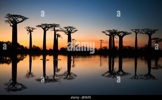 Baobabs at sunrise near the water with reflection. Madagascar. An excellent illustration - Stock Image