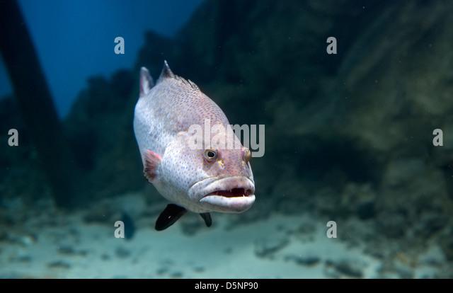 Anubias stock photos anubias stock images alamy for Predatory freshwater fish