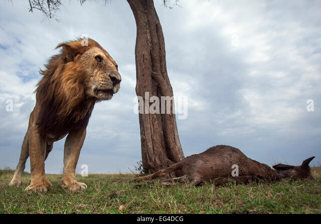 Lion (Panthera leo) old male one eye standing next to kill. Masai Mara National Reserve Kenya. Taken remote wide - Stock Image