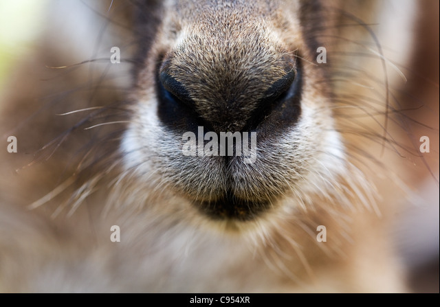 Close-up of the nose of a grey kangaroo (Macropus giganteus). Brisbane, Queensland, AUSTRALIA. - Stock Image
