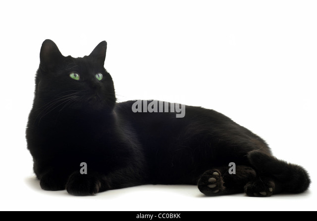beautiful black cat in front of white background - Stock Image