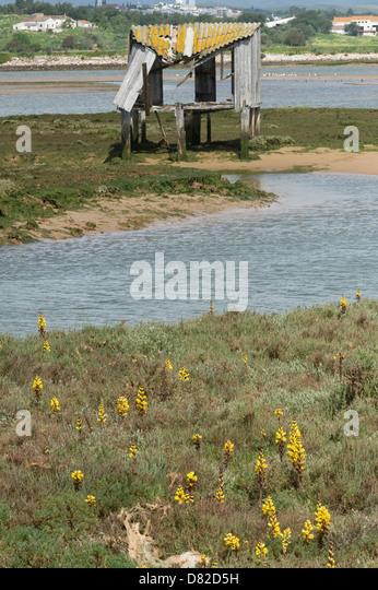 Yellow Broomrape (Cistanche phelypaea) habitat  Alvor Algarve Portugal Mediterranean Europe - Stock Image