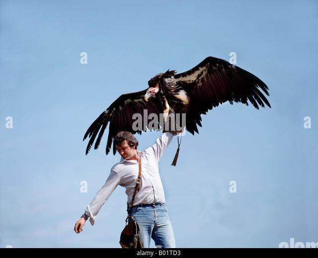 Vautour indien tete rouge Aegypius calvus Lieu Volerie des Aigles falconer fauconnier Alsace Biodiversities Biodiversity - Stock-Bilder