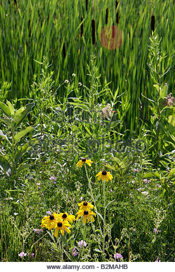 Wisconsin Kenosha Kansasville Richard Bong State Recreation Area grassland prairie wetland wildflowers yellow coneflower - Stock Image