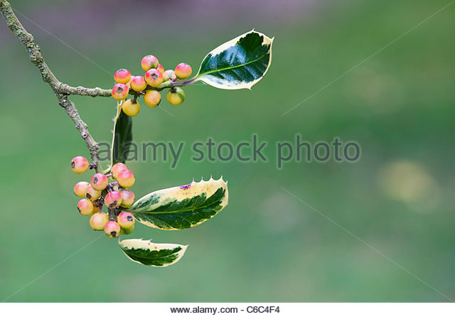 Ilex aquifolium 'Argentea Marginata Pendula' . Perrys silver weeping holly with ripening berries - Stock Image