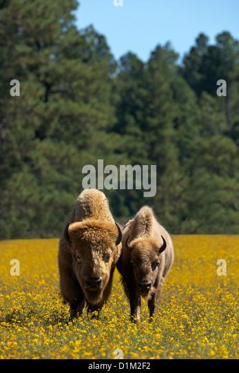 White bison or buffalo, Bearizona Wildlife Park, Williams, Arizona, USA - Stock-Bilder