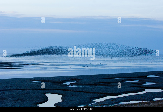 Knot Calidris canutus swirling in a large flock over the Wash off Snettisham RSPB Reserve Norfolk August - Stock Image