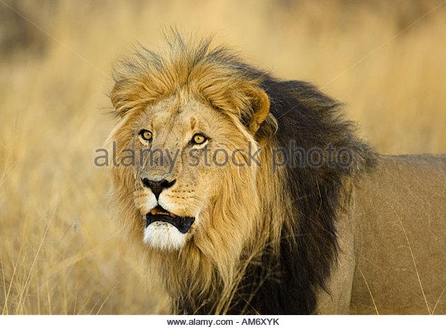 Black Maned Kalahari Lion Portrait - Stock Image