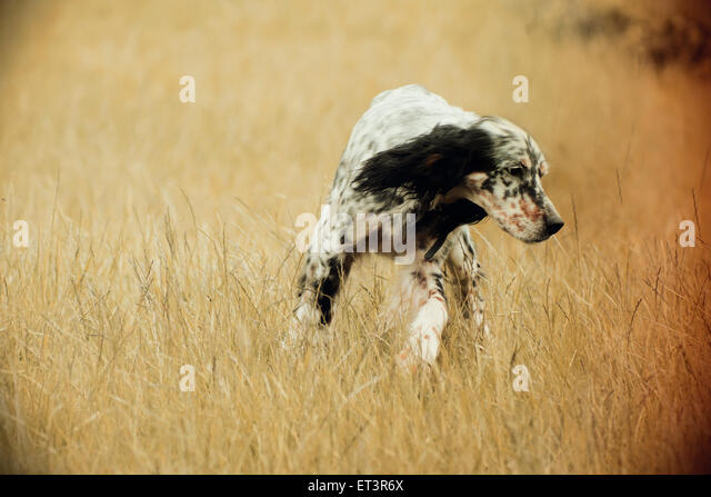 Spaniel dog - Stock Image