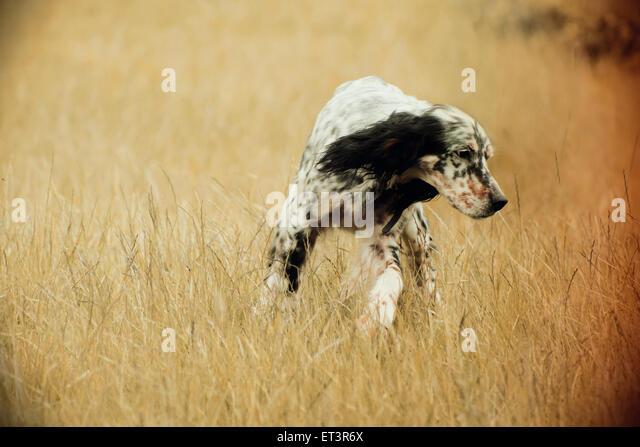 Spaniel dog - Stock Image