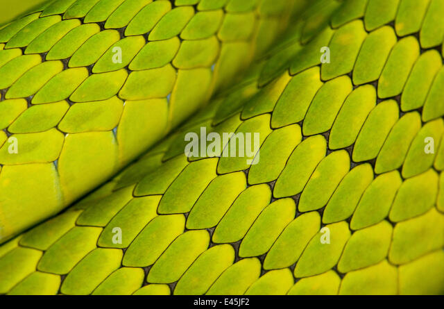 Eastern green mamba {Dendroaspis angusticeps} skin detail, captive, from East Africa - Stock Image