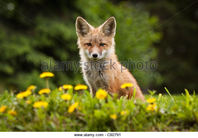 Portrait of a Red fox kit looks at camera from near its den on the Anchorage Hillside in Summer, Southcentral Alaska. - Stock Image