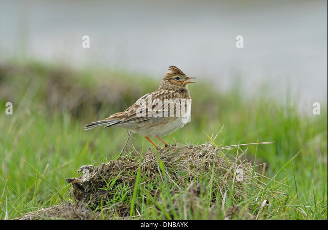 Skylark (Alauda arvensis) singing from the top of a mound - Stock Image