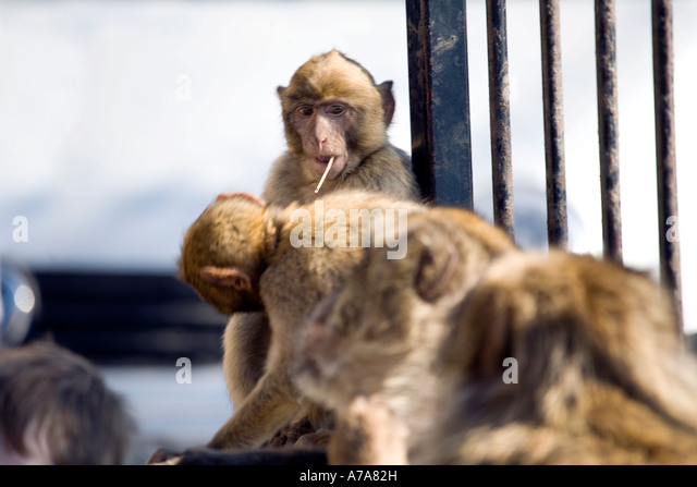 Young Gibraltar Ape with stick in his mouth as if it was a cigarette - Stock Image
