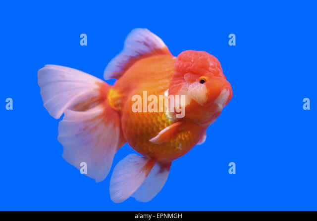 Ranchu stock photos ranchu stock images alamy for Nourriture poisson rouge voile de chine