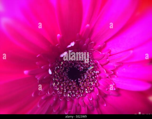 Close-up of pink flower - Stock Image