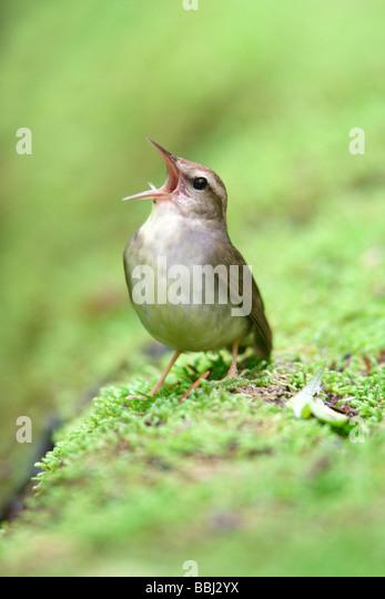 Swainsons Warbler singing - Vertical - Stock Image