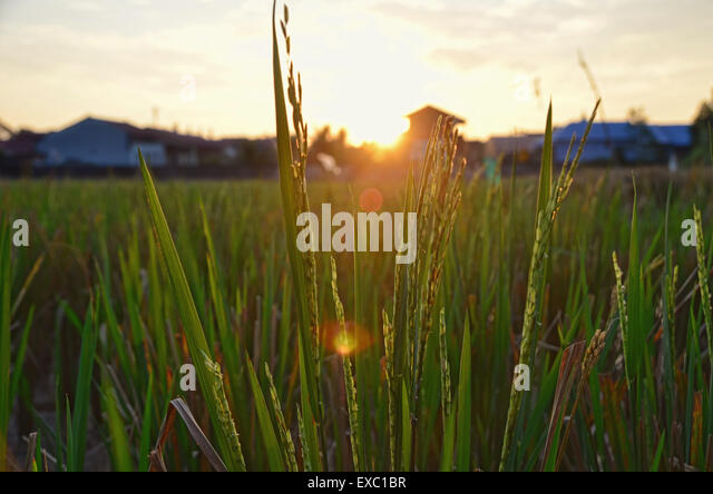 Sunrise at paddy rice field - Stock Image