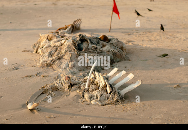 Beached Whale Carcus and Crows - Stock Image