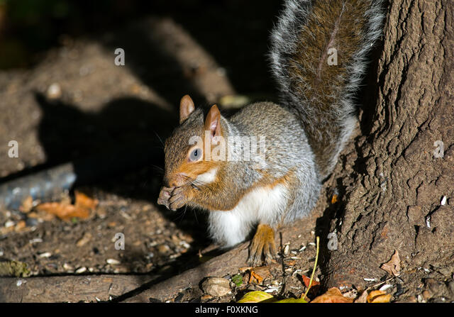 Eastern gray squirrel eating peanuts - Stock Image