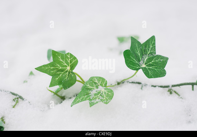 Fake ivy in snow - Stock Image