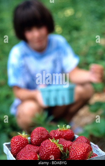 Child picking strawberries - Stock Image