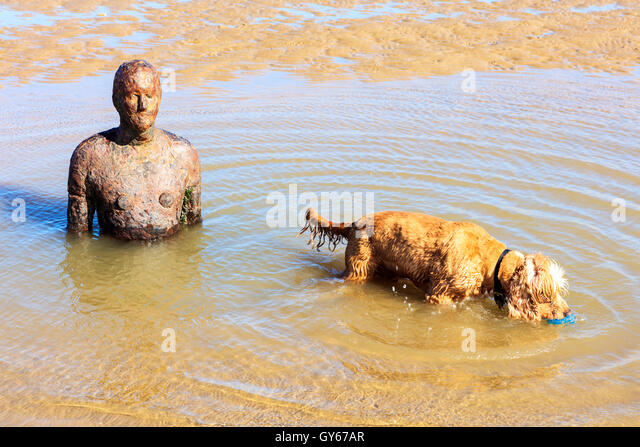 Crosby beach with sunken sculpture and a playful dog. - Stock Image