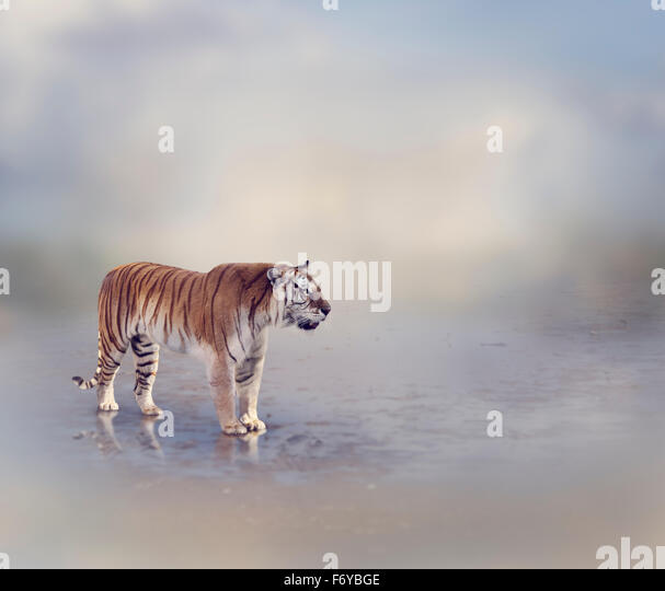 Tiger Near Water with Reflection - Stock Image