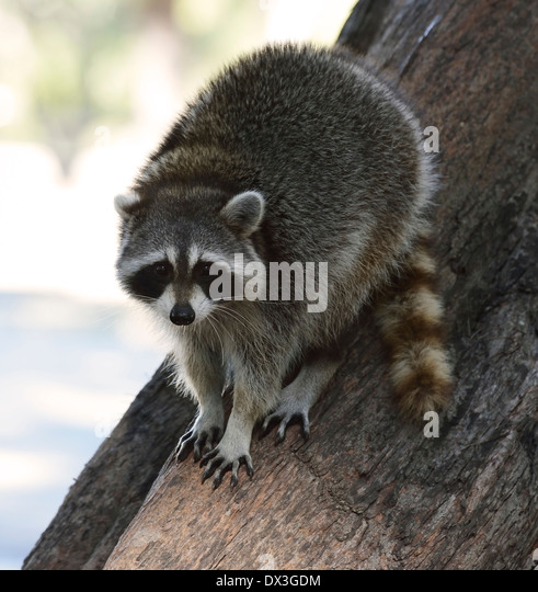 Young Raccoon On The Tree In Florida Park - Stock Image