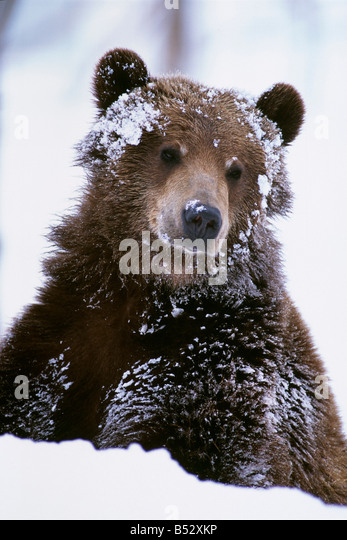 Grizzly bear standing with face covered in snow at the Alaska Wildlife Conservation Center in Alaska during Spring - Stock Image