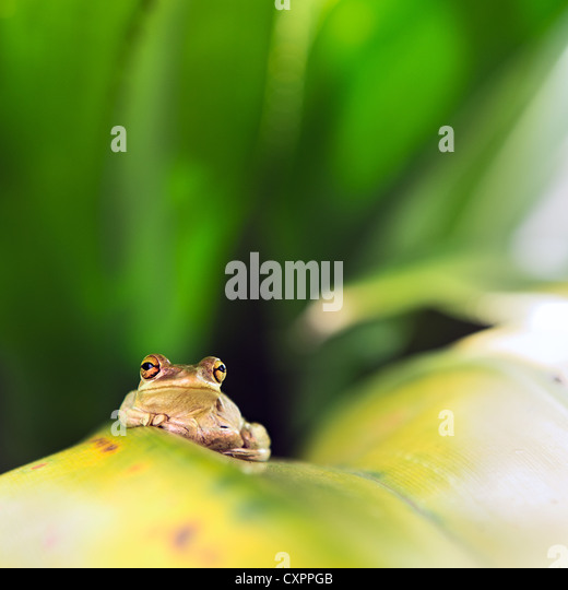 Cuban Tree Frog (Osteopilus Septentrionalis) on a leaf - Stock Image