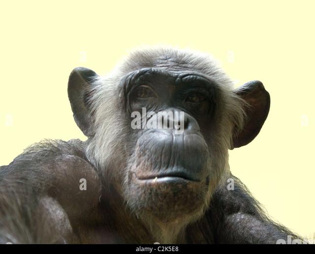 Monkey Isolated - Stock Image