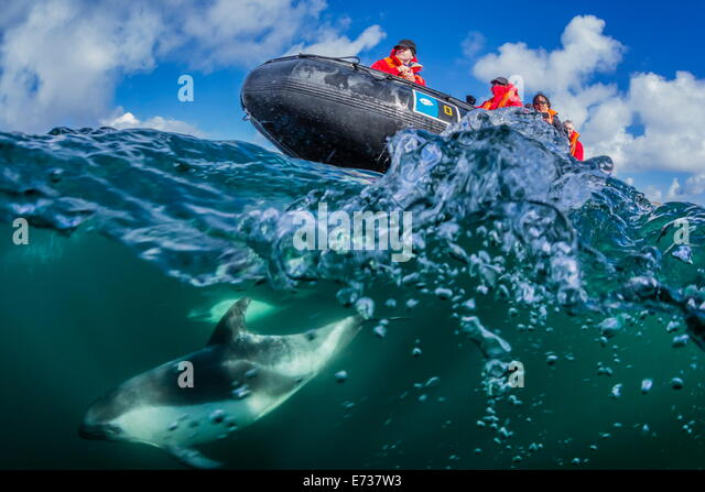 Adult Peale's dolphin bow riding a Lindblad Expeditions Zodiac above and below water near New Island, Falkland - Stock-Bilder