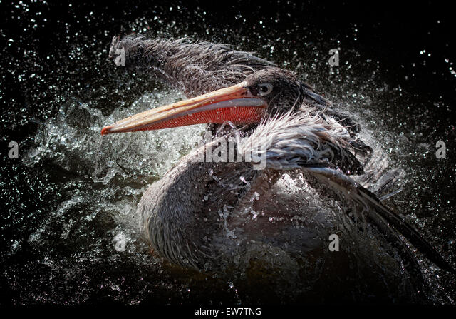 Pelican bird flapping its wings and splashing about in water - Stock Image
