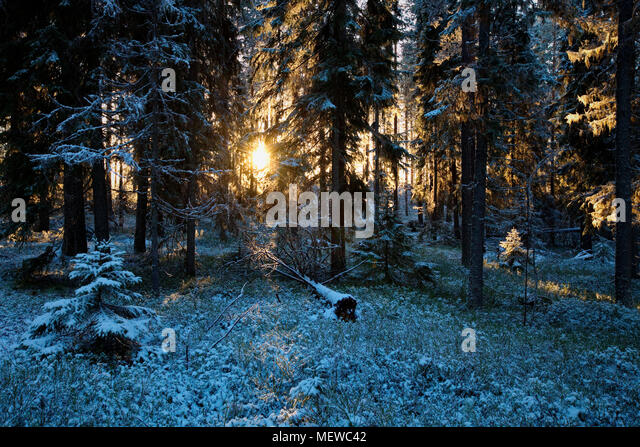 The low winter sun shines through frost covered trees in a wintry forest. - Stock Image
