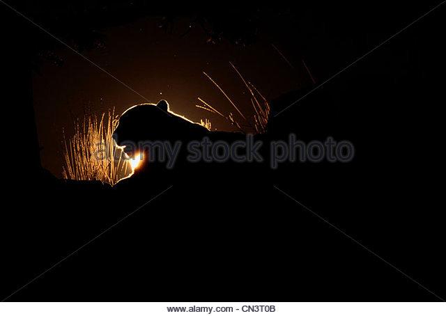 Mountain Lion Silhouette, Montana - Stock Image