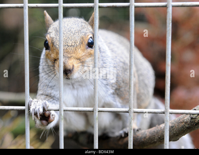 A grey squirrel in captivity - Stock Image
