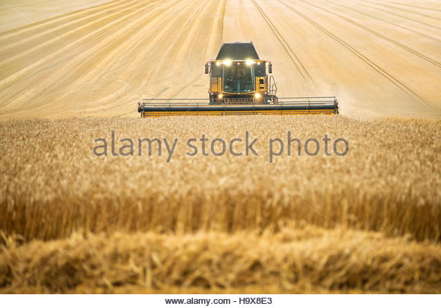 Front View Of Combine Harvester Harvesting Wheat Crop - Stock Image